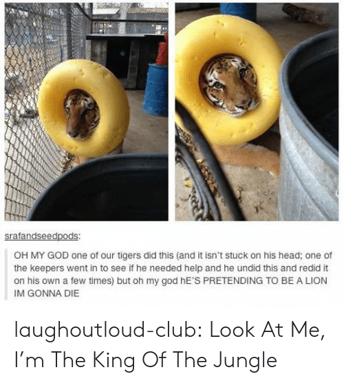 Im Gonna Die: ed  OH MY GOD one of our tigers did this (and it isn't stuck on his head; one of  the keepers went in to see if he needed help and he undid this and redid it  on his own a few times) but oh my god hE'S PRETENDING TO BE A LION  IM GONNA DIE laughoutloud-club:  Look At Me, I'm The King Of The Jungle