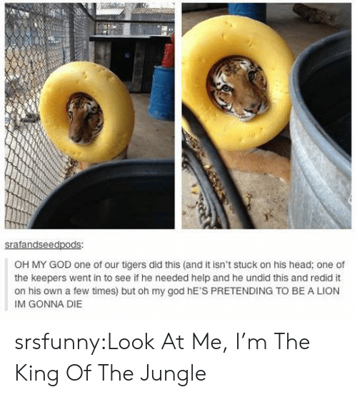 Im Gonna Die: ed  OH MY GOD one of our tigers did this (and it isn't stuck on his head; one of  the keepers went in to see if he needed help and he undid this and redid it  on his own a few times) but oh my god hE'S PRETENDING TO BE A LION  IM GONNA DIE srsfunny:Look At Me, I'm The King Of The Jungle