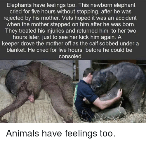 calf: Elephants have feelings too. This newborn elephant  cried for five hours without stopping, after he was  rejected by his mother. Vets hoped it was an accident  when the mother stepped on him after he was born  They treated his injuries and returned him to her two  hours later, just to see her kick him again. A  keeper drove the mother off as the calf sobbed under a  blanket. He cried for five hours before he could be  consoled Animals have feelings too.