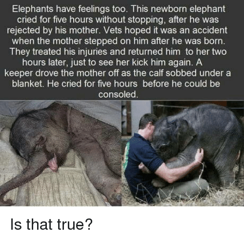 calf: Elephants have feelings too. This newborn elephant  cried for five hours without stopping, after he was  rejected by his mother. Vets hoped it was an accident  when the mother stepped on him after he was born  They treated his injuries and returned him to her two  hours later, just to see her kick him again. A  keeper drove the mother off as the calf sobbed under a  blanket. He cried for five hours before he could be  consoled. Is that true?