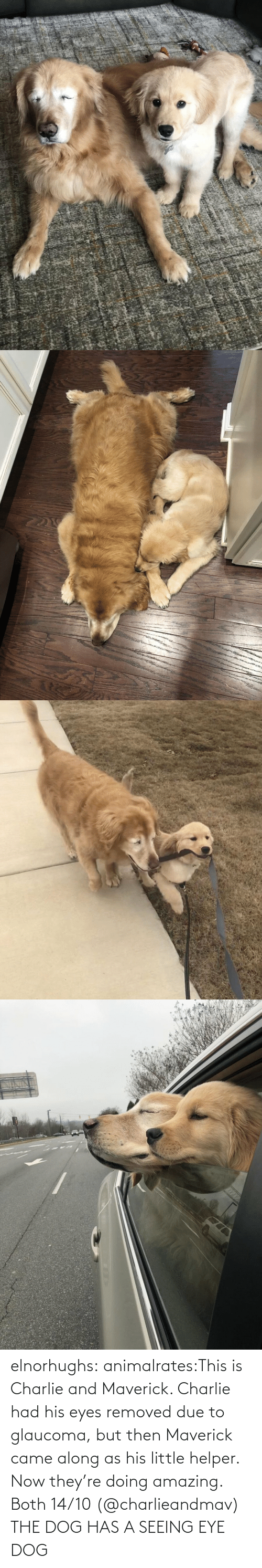 Removed: elnorhughs:  animalrates:This is Charlie and Maverick. Charlie had his eyes removed due to glaucoma, but then Maverick came along as his little helper. Now they're doing amazing. Both 14/10 (@charlieandmav)   THE DOG HAS A SEEING EYE DOG