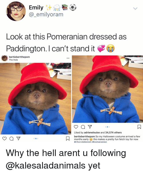 Why The Hell: Emily  @_emilyoram  Look at this Pomeranian dressed ass  Paddington. l can't stand it  bertiebertthepom  The Hole  Liked by adrienelouise and 34,574 others  bertiebertthepom So my Halloween costume arrived a few  months earlytho makes a pretty fun fetch toy for now  Why the hell arent u following @kalesaladanimals yet