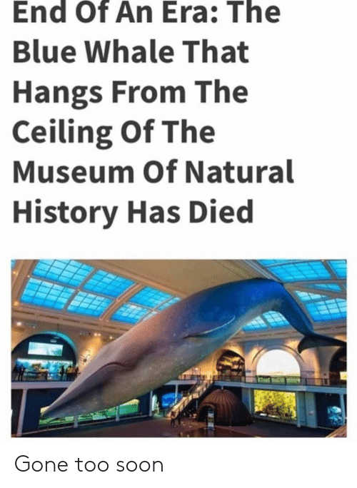 blue whale: End Of An Era: The  Blue Whale That  Hangs From The  Ceiling Of The  Museum Of Natural  History Has Died Gone too soon