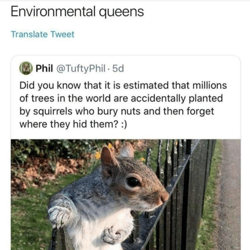 Translate, Trees, and World: Environmental queens  Translate Tweet  Phil @TuftyPhil 5d  Did you know that it is estimated that millions  of trees in the world are accidentally planted  by squirrels who bury nuts and then forget  where they hid them? :)