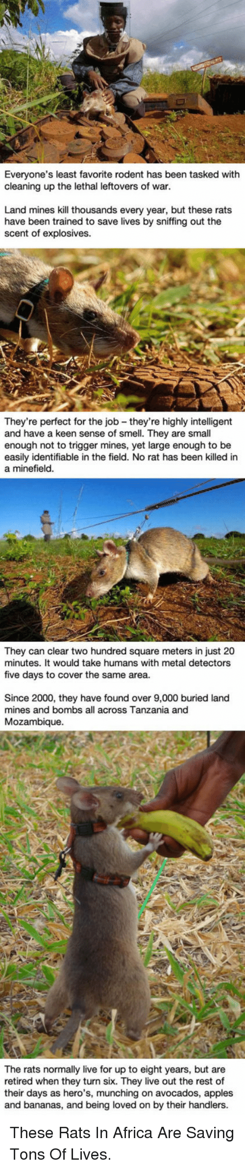Africa, Smell, and Keen: Everyone's least favorite rodent has been tasked with  cleaning up the lethal leftovers of war.  Land mines kill thousands every year, but these rats  have been trained to save lives by sniffing out the  scent of explosives.  They're perfect for the job - they're highly intelligent  and have a keen sense of smell. They are small  enough not to trigger mines, yet large enough to be  easily identifiable in the field. No rat has been killed in  a minefield  They can clear two hundred square meters in just 20  minutes. It would take humans with metal detectors  five days to cover the same area.  Since 2000, they have found over 9,000 buried land  mines and bombs all across Tanzania and  Mozambique.  their days an they turn six n to eight  and bananas, and being loved on by their handlers  The rats normally live for up to eight years, but are  retired when they turn six. They live out the rest of  their days as hero's, munching on avocados, apples  retired when hero',mon by their  rest of <p>These Rats In Africa Are Saving Tons Of Lives.</p>