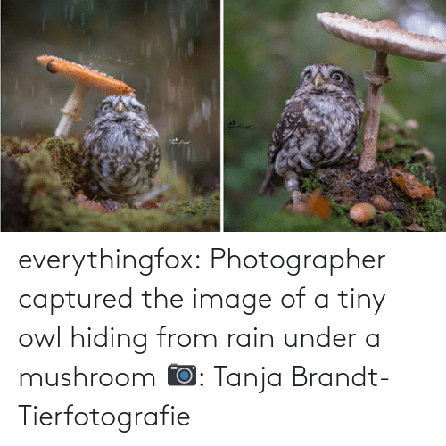tiny: everythingfox:   Photographer captured the image of a tiny owl hiding from rain under a mushroom   📷:  Tanja Brandt-Tierfotografie