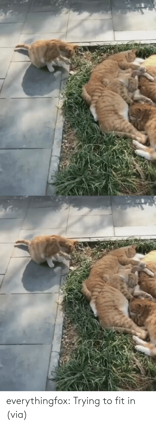 Imgur Com: everythingfox:  Trying to fit in (via)