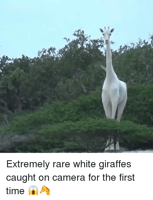 Camera, Time, and White: Extremely rare white giraffes caught on camera for the first time 😱🦒