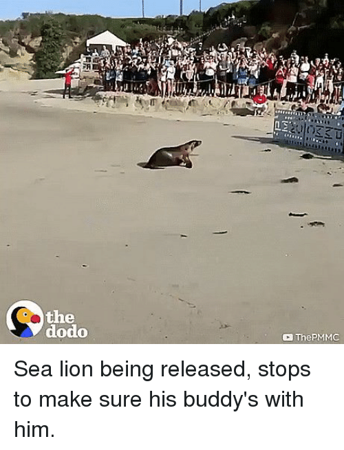 buddys: FA  the  dodo  ThePMMC Sea lion being released, stops to make sure his buddy's with him.