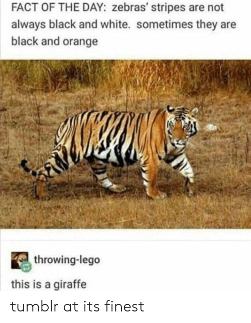 Giraffe: FACT OF THE DAY: zebras' stripes are not  always black and white. sometimes they are  black and orange  throwing-lego  this is a giraffe tumblr at its finest