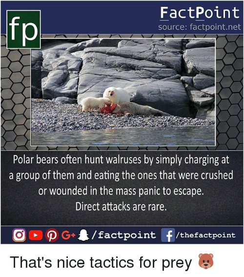 polarized: FactPoint  source: factpoint.net  Polar bears often hunt walruses by simply charging at  a group of them and eating the ones that were crushed  or wounded in the mass panic to escape.  Direct attacks are rare. That's nice tactics for prey 🐻