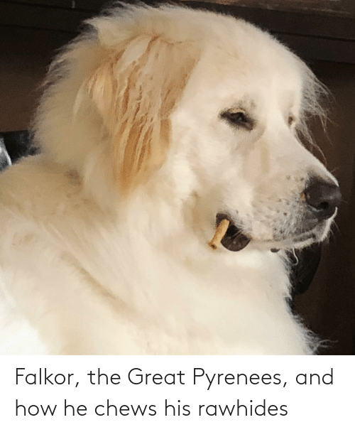 Chews: Falkor, the Great Pyrenees, and how he chews his rawhides