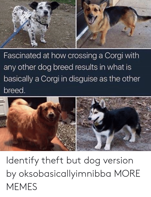 Corgi, Dank, and Memes: Fascinated at how crossing a Corgi with  any other dog breed results in what is  basically a Corgi in disguise as the other  breed Identify theft but dog version by oksobasicallyimnibba MORE MEMES
