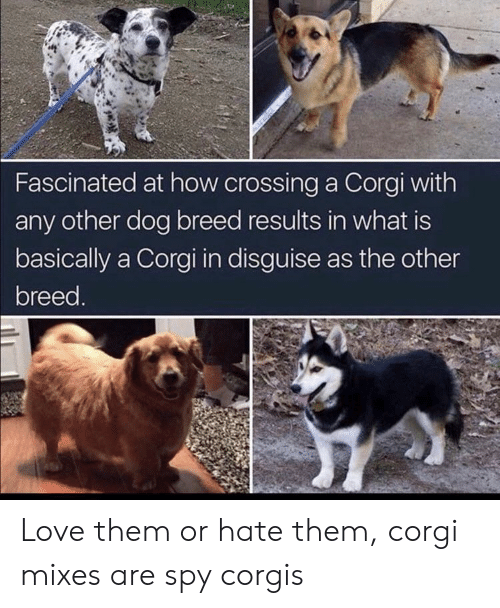 Corgi, Love, and What Is: Fascinated at how crossing a Corgi with  any other dog breed results in what is  basically a Corgi in disguise as the other  breed. Love them or hate them, corgi mixes are spy corgis