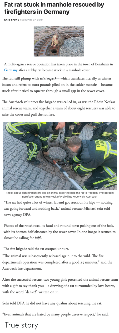 "sewer: Fat rat stuck in manhole rescued by  firefighters in Germany  KATE LYONS FEBRUARY 27, 2019  A multi-agency rescue operation has taken place in the town of Bensheim in  Germany after a tubby rat became stuck in a manhole cover.   The rat, still plump with winterspeck - which translates literally as winter  bacon and refers to extra pounds piled on in the colder months became  stuck after it tried to squeeze through a small gap in the sewer cover.  The Auerbach volunteer fire brigade was called in, as was the Rhein Neckar  animal rescue team, and together a team of about eight rescuers was able to  raise the cover and pull the rat free.   It took about eight firefighters and an animal expert to help the rat to freedom. Photograph:  Berufstierrettung Rhein Neckar/ Freiwillige Feuerwehr Auerbach   The  rat  had  quite  a  lot  of  winter  fat  and  got  stuck  on  its  hips  _nothing  was going forward and nothing back,"" animal rescuer Michael Sehr told  news agency DPA  Photos of the rat showed its head and rotund torso poking out of the hole,  with its bottom half obscured by the sewer cover. In one image it seemed to  almost be calling for hilfe.  The fire brigade said the rat escaped unhurt.   ""The animal was subsequently released again into the wild. The fire  department's operation was completed after a good 25 minutes,"" said the  Auerbach fire department.  After the successful rescue, two young girls presented the animal rescue teanm  with a gift to say thank you- a drawing of a rat surrounded by love hearts  with the word ""danke!"" written on it.  Sehr told DPA he did not have any qualms about rescuing the rat.  ""Even animals that are hated by many people deserve respect,"" he said. True story"