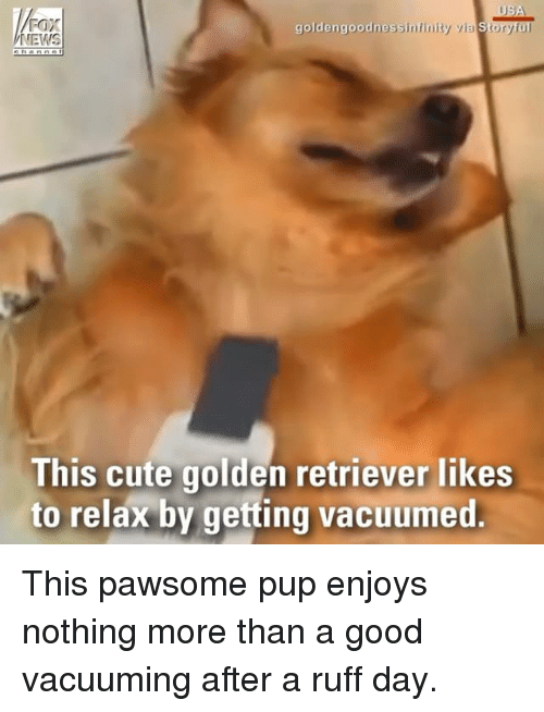 faxe: Fax  NEWS  goldengoodnessinfinity via Storyful  This cute golden retriever likes  to relax by getting vacuumed This pawsome pup enjoys nothing more than a good vacuuming after a ruff day.