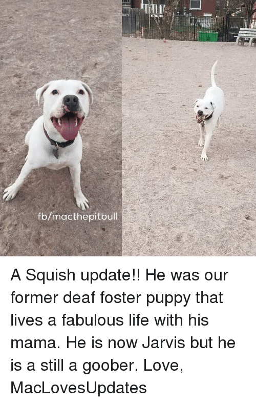 goober: fb/macthe pitbull A Squish update!! He was our former deaf foster puppy that lives a fabulous life with his mama. He is now Jarvis but he is a still a goober.   Love, MacLovesUpdates