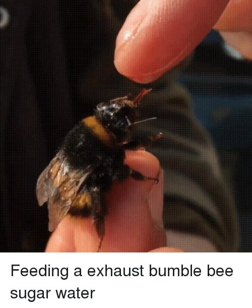 exhaust: Feeding a exhaust bumble bee sugar water