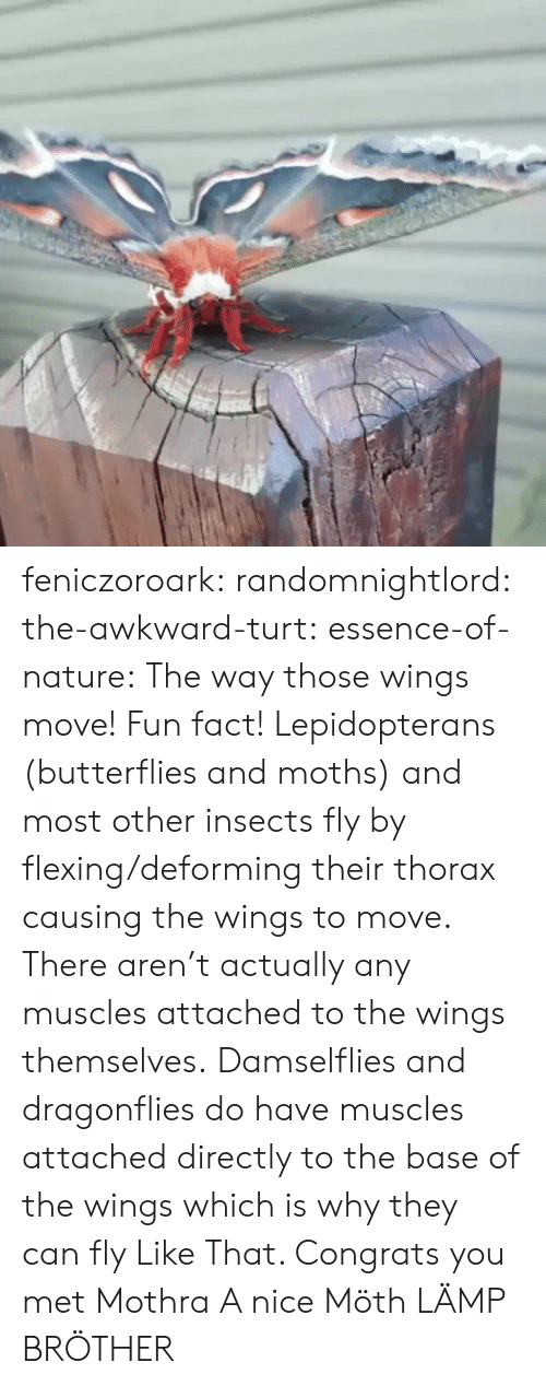 Tumblr, Awkward, and Blog: feniczoroark:  randomnightlord:  the-awkward-turt: essence-of-nature:   The way those wings move!    Fun fact! Lepidopterans (butterflies and moths) and most other insects fly by flexing/deforming their thorax causing the wings to move. There aren't actually any muscles attached to the wings themselves. Damselflies and dragonflies do have muscles attached directly to the base of the wings which is why they can fly Like That.    Congrats you met Mothra  A nice Möth  LÄMP BRÖTHER