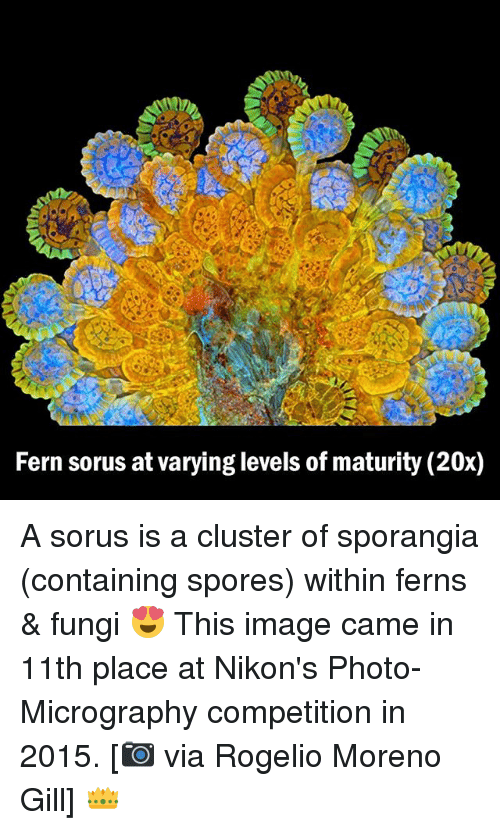 spores: Fern sorus atvarying levels of maturity (20x) A sorus is a cluster of sporangia (containing spores) within ferns & fungi 😍 This image came in 11th place at Nikon's Photo-Micrography competition in 2015. [📷 via Rogelio Moreno Gill] 👑
