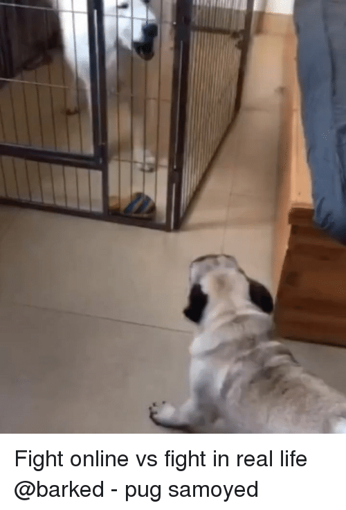 Life, Memes, and Fight: Fight online vs fight in real life @barked - pug samoyed