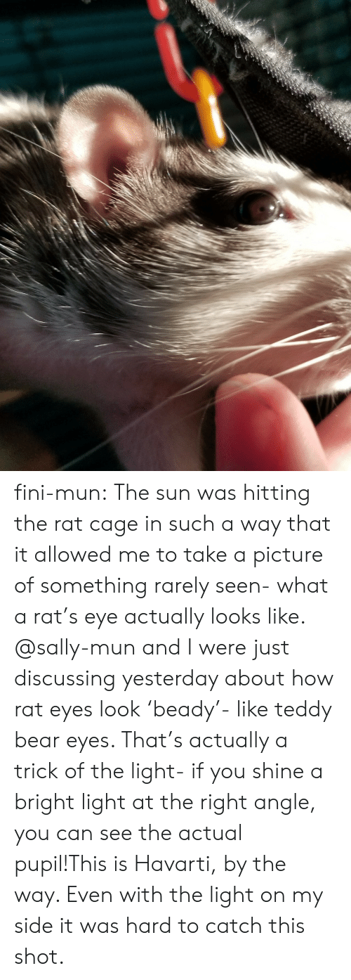 teddy bear: fini-mun:  The sun was hitting the rat cage in such a way that it allowed me to take a picture of something rarely seen- what a rat's eye actually looks like. @sally-mun and I were just discussing yesterday about how rat eyes look 'beady'- like teddy bear eyes. That's actually a trick of the light- if you shine a bright light at the right angle, you can see the actual pupil!This is Havarti, by the way. Even with the light on my side it was hard to catch this shot.