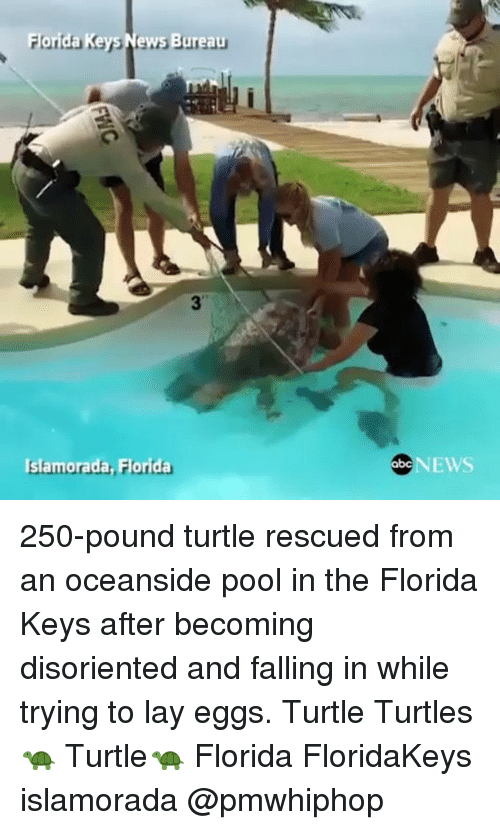 disoriented: For  Ke  News Bureau  Islamorada  orida  NEWS 250-pound turtle rescued from an oceanside pool in the Florida Keys after becoming disoriented and falling in while trying to lay eggs. Turtle Turtles 🐢 Turtle🐢 Florida FloridaKeys islamorada @pmwhiphop
