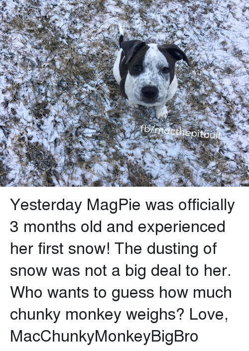 magpie: fornacthepitbull  er Yesterday MagPie was officially 3 months old and experienced her first snow! The dusting of snow was not a big deal to her. Who wants to guess how much chunky monkey weighs?   Love, MacChunkyMonkeyBigBro
