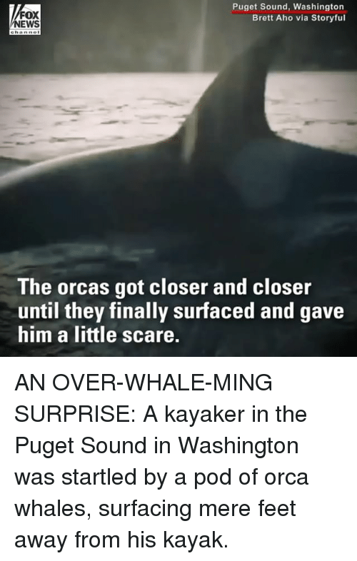 Kayak: FOX  EWS  Puget Sound, Washington  Brett Aho via Storyful  ehanne  The orcas got closer and closer  until they finally surfaced and gave  him a little scare. AN OVER-WHALE-MING SURPRISE: A kayaker in the Puget Sound in Washington was startled by a pod of orca whales, surfacing mere feet away from his kayak.