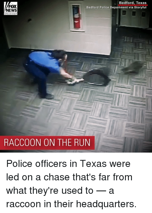 Memes, News, and Police: FOX  NEWS  Bedford, Texas  Bedford Police Department via Storyful  RACCOON ON THE RUN Police officers in Texas were led on a chase that's far from what they're used to — a raccoon in their headquarters.