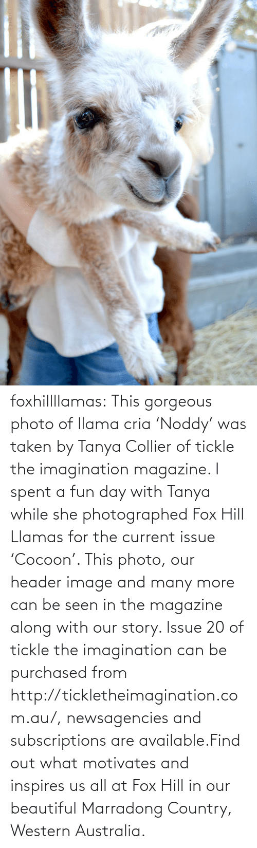 Header: foxhillllamas:  This gorgeous photo of llama cria 'Noddy' was taken by Tanya Collier of tickle the imagination magazine. I spent a fun day with Tanya while she photographed Fox Hill Llamas for the current issue 'Cocoon'. This photo, our header image and many more can be seen in the magazine along with our story. Issue 20 of tickle the imagination can be purchased from http://tickletheimagination.com.au/, newsagencies and subscriptions are available.Find out what motivates and inspires us all at Fox Hill in our beautiful Marradong Country, Western Australia.