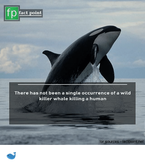 killer whale: fp  fact point  There has not been a single occurrence of a wild  killer whale killing a human  for sources-factpoint.net 🐋