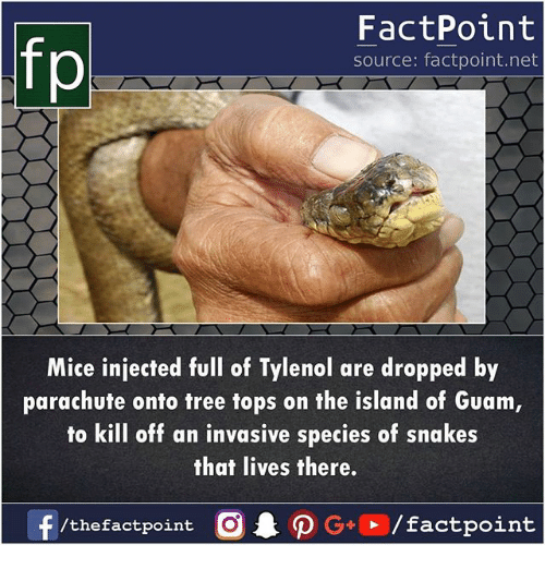 Injected: fp  FactPoint  source: factpoint.net  Mice injected ul of Tylenol are dropped by  parachute onto tree tops on the island of Guam  to kill off an invasive species of snakes  that lives there.