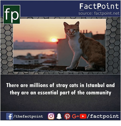 stray cats: fp  FactPoint  source: factpoint.net  There are millions of stray cats in Istanbul and  they are an essential part of the community