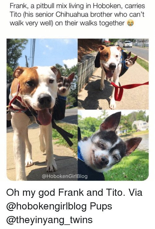 Chihuahua, God, and Memes: Frank, a pitbull mix living in Hoboken, carries  Tito (his senior Chihuahua brother who can't  walk very well) on their walks together  @HobokenGirlBlog Oh my god Frank and Tito. Via @hobokengirlblog Pups @theyinyang_twins