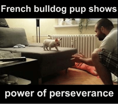 French Bulldogs: French bulldog pup shows  power of perseverance