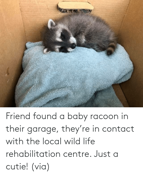 Wild: Friend found a baby racoon in their garage, they're in contact with the local wild life rehabilitation centre. Just a cutie! (via)