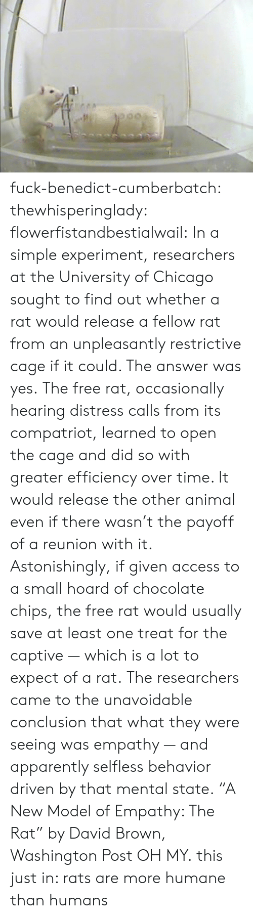 "Washington Post: fuck-benedict-cumberbatch:  thewhisperinglady:  flowerfistandbestialwail:   In a simple experiment, researchers at the University of Chicago sought to find out whether a rat would release a fellow rat from an unpleasantly restrictive cage if it could. The answer was yes. The free rat, occasionally hearing distress calls from its compatriot, learned to open the cage and did so with greater efficiency over time. It would release the other animal even if there wasn't the payoff of a reunion with it. Astonishingly, if given access to a small hoard of chocolate chips, the free rat would usually save at least one treat for the captive — which is a lot to expect of a rat. The researchers came to the unavoidable conclusion that what they were seeing was empathy — and apparently selfless behavior driven by that mental state. ""A New Model of Empathy: The Rat"" by David Brown, Washington Post   OH MY.  this just in: rats are more humane than humans"