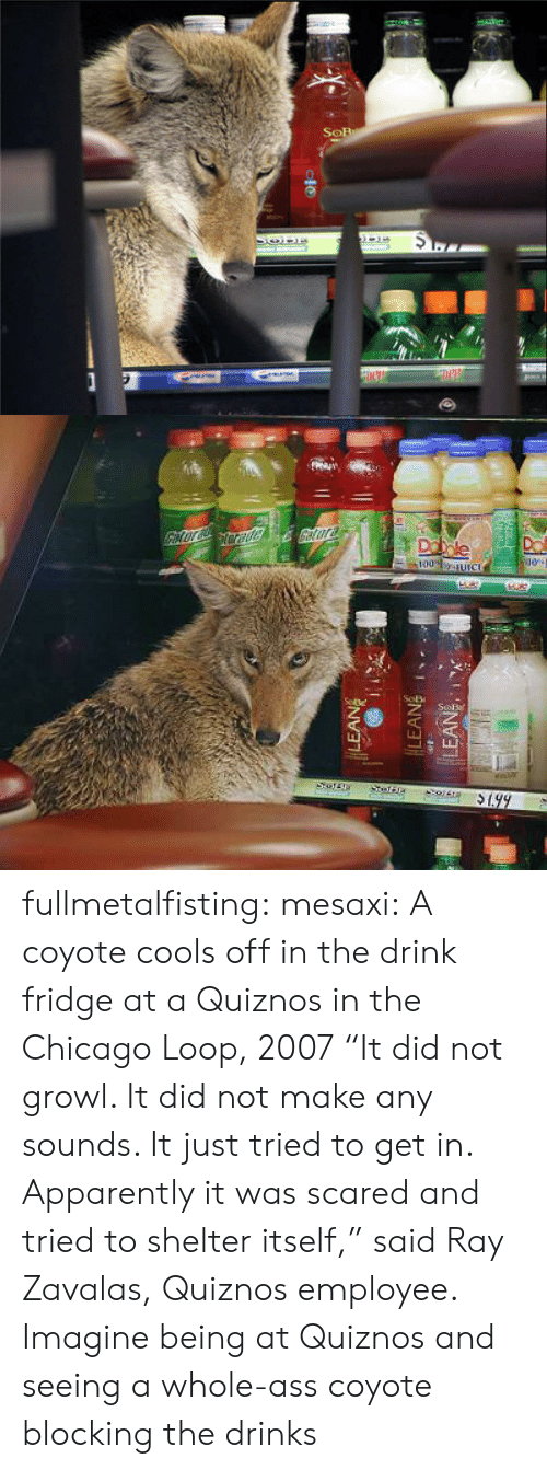 "growl: fullmetalfisting:  mesaxi:  A coyote cools off in the drink fridge at a Quiznos in the Chicago Loop, 2007 ""It did not growl. It did not make any sounds. It just tried to get in. Apparently it was scared and tried to shelter itself,"" said Ray Zavalas, Quiznos employee.   Imagine being at Quiznos and seeing a whole-ass coyote blocking the drinks"