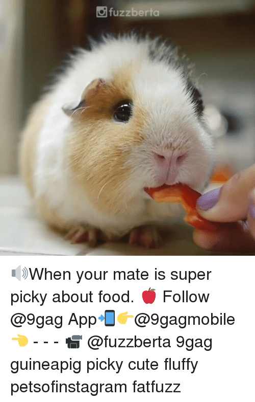 9gag, Cute, and Food: fuzzberta 🔊When your mate is super picky about food. 🍎 Follow @9gag App📲👉@9gagmobile 👈 - - - 📹 @fuzzberta 9gag guineapig picky cute fluffy petsofinstagram fatfuzz