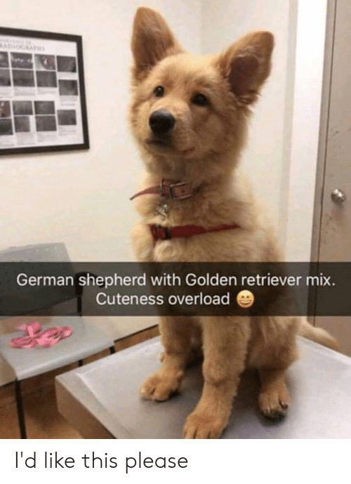 cuteness: German shepherd with Golden retriever mix.  Cuteness overload I'd like this please