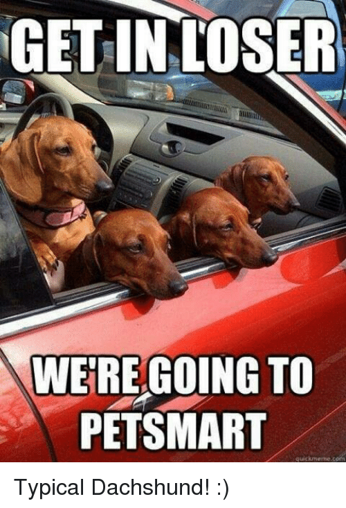 dachshunds: GET INLOSER  WE'RE GOING TO  PETSMART Typical Dachshund! :)