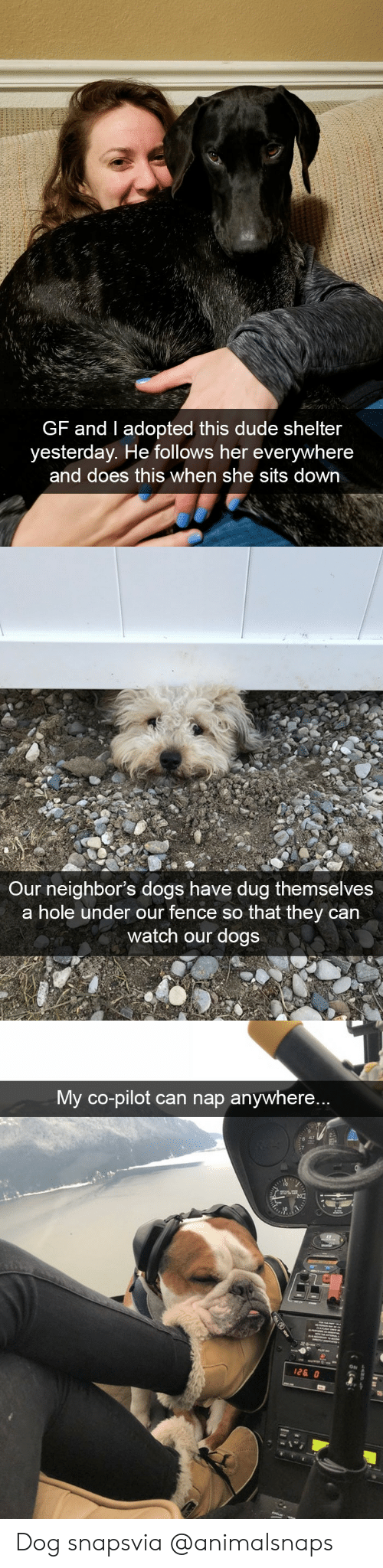 Shelters: GF and I adopted this dude shelter  yesterday. He follows her everywhere  and does this when she sits down   Our neighbor's dogs have dug themselves  a hole under our fence so that they can  watch our dogs   My co-pilot can nap anywhere...  ON Dog snapsvia @animalsnaps