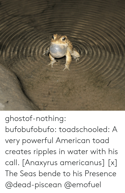 toad: ghostof-nothing:  bufobufobufo:  toadschooled:  A very powerful American toad creates ripples in water with his call. [Anaxyrus americanus] [x]  The Seas bende to his Presence  @dead-piscean @emofuel