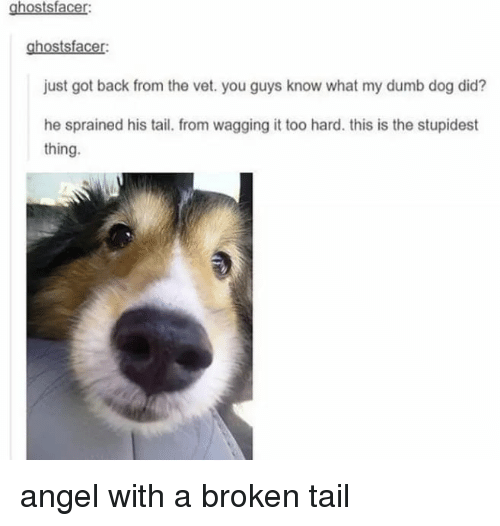 Dumb, Memes, and Angel: ghostsfacer:  ghostsfacer:  just got back from the vet. you guys know what my dumb dog did?  he sprained his tail. from wagging it too hard. this is the stupidest  thing. angel with a broken tail
