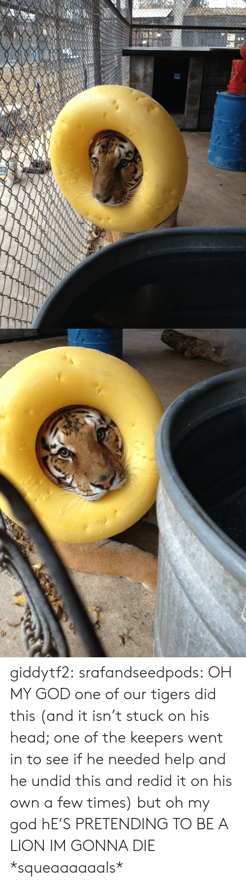 Im Gonna Die: giddytf2: srafandseedpods:  OH MY GOD one of our tigers did this (and it isn't stuck on his head; one of the keepers went in to see if he needed help and he undid this and redid it on his own a few times) but oh my god hE'S PRETENDING TO BE A LION IM GONNA DIE  *squeaaaaaals*