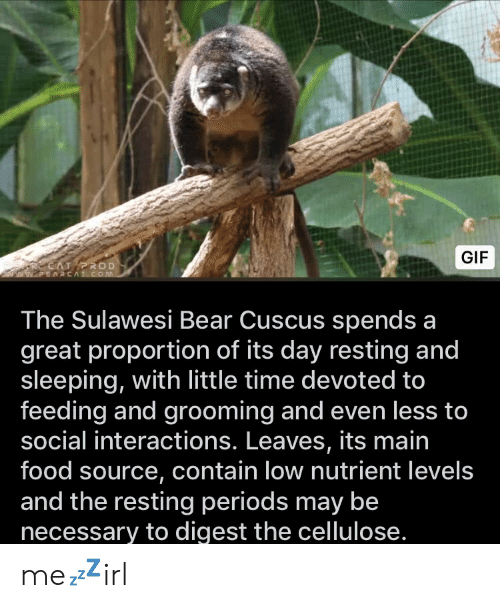 Food, Gif, and Bear: GIF  SARCAT ROD  ww.EARCAT.COM  The Sulawesi Bear Cuscus spends a  great proportion of its day resting and  sleeping, with little time devoted to  feeding and grooming and even less to  social interactions. Leaves, its main  food source, contain low nutrient levels  and the resting periods may be  necessary to digest the cellulose. me💤irl