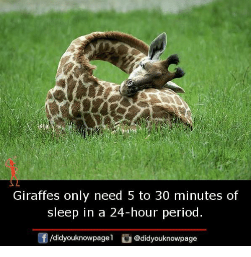 Memes, Period, and Sleep: Giraffes only need 5 to 30 minutes of  sleep in a 24-hour period.  団/d.dyouknowpage1 @didyouknowpage