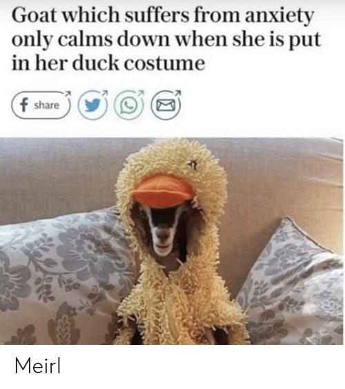 Goat, Anxiety, and Duck: Goat which suffers from anxiety  only calms down when she is put  in her duck costume  f share))OE Meirl