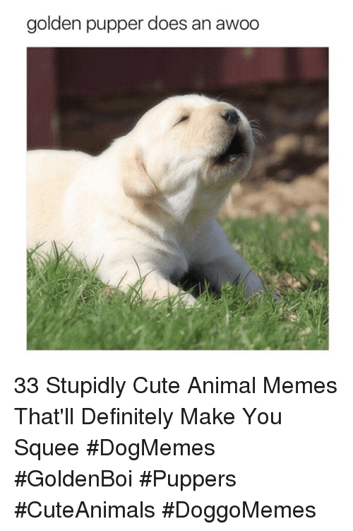 Cute, Definitely, and Memes: golden pupper does an awoo 33 Stupidly Cute Animal Memes That'll Definitely Make You Squee #DogMemes #GoldenBoi #Puppers #CuteAnimals #DoggoMemes